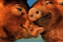 Pigs, Boars and Hogs / Pigs, boars and hogs