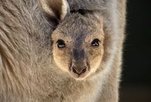 Kangaroos and Wallabies /  Kangaroos and Wallabies