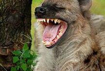 Hyenas and Wild Dogs / Hyenas and Wild Dogs
