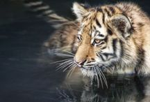 Tigers / My Favourite Wild Animal <3 us, help to educate, help save us. We are Magnificent, Individual and Magical when Alive...J
