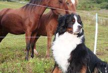 Bernese (Berner's) Mountain Dogs
