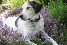 """Garden: Gardening with Pets / Gardening with cats, dogs, goats, chickens and anything else """"pet"""""""