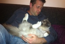 The Ragdoll cat / Our Cat Remy is a raggdoll, they are playfull and seriously disturbed :-)