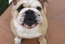 I miei bulldogs