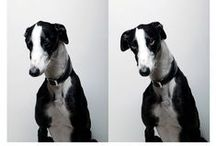 galgo español / greyhounds