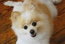DogLoverStore.com's Pomeranian Teddy / Pictures of our fun and adorable Pomeranian, Teddy!
