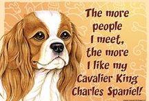 Cavalier King Charles Spaniel Dog Lover / Everything you love about the Cavalier King Charles Spaniel!
