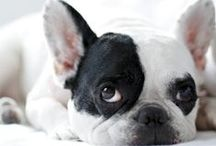 Frenchies + / Im OBSESSED with frenchies + pugs.