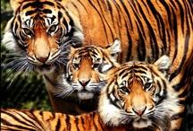 felini / solo felini: leone, pantera, giaguaro, tigre, ...gatto