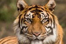 Tigers / My favorite big cat - powerful and beautiful! www.NegotiateLikeATiger.com