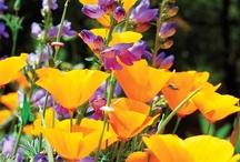 Wildflowers / by Bonnie Koenig