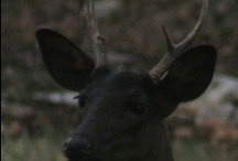 Deer..... / Deer is my Totem / by Sandra Harvey Designs