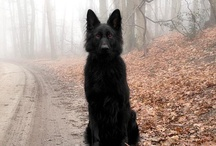 Belgian Shepherd -  / I knew I would find him, my doggie so fair...full of sweetness and affection, and the thickest truffle hair / by Sandra Harvey Designs
