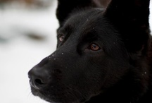 my dogs / Bruno & Frida (pastore italiano)