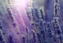 Lavender / Lavender soaps, lavender potpourri, lavender essential oils, lavender cookies, and more amazing lavender goodies!