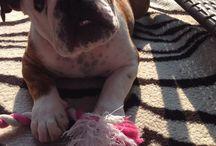 ~Z€LDA~ the bulldog! <3 / My baby girl / by Jeanie Renaud