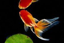 金魚 goldfish & 鯉 koi