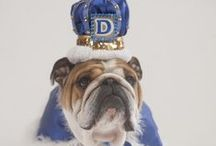 Purely Porterhouse / You know him, you love him, he's the current live mascot for Drake University. Follow him @DUPorterhouse. Learn more about Drake University at http://www.drake.edu. / by Drake University