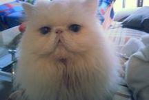 Persian cat / (my) lovely cat