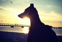 Sighthounds / by Fryde von Gottegris