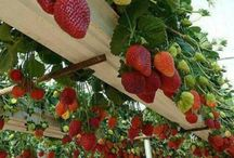 Container gardening / Strawberries in containers