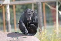Enrichment / The chimpanzee receive some wild and wacky enrichment from supporters. Check it out.