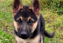 German Shepherd / German Shepherd breed information, photography.