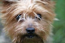 my sweet doggy, tootsie / Cairn terrier toto dog from wizard of oz