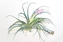 My botanical art / Some of my botanical watercolors.