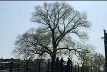 Dé boom van Amsterdam