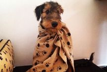 Airedales / by Danielle Smith