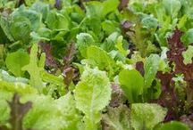 Edible Gardens / edible gardens, edible, herb gardens, grow your own food, food, vegetable gardens, gardening, veggies, gardener, gardens, raised bed gardens, raised beds, grow your food