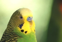 Budgie Love / by Lisa Brown