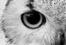   Owls  