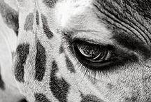 | Girafes |