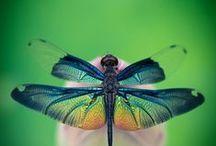 DRAGONFLIES AND DAMSELFLIES / by Annie Britten