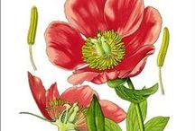 Botanical plates | Planches Botaniques & Magie Verte / zimzimcarillon.canalblog.com