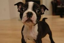 Boston Terrier / Gifts ideas and photos for anyone who loves Boston Terriers