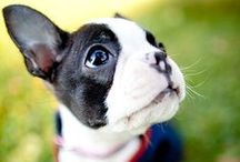 Doggies - Bostons - Boston Terriers / Boston Terriers - Boston Terrors