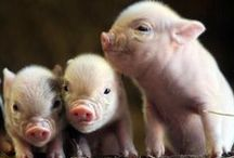Piggies! / Adorable pig photos