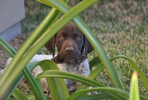Woof / German shorthaired pointer