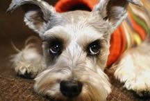 I Love Schnauzers / Schnauzers are the most beautiful breed of dogs there is as far as I'm concerned. Mine died four years ago and I still think of her everyday. / by Betty Kottkamp