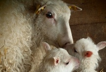 Mary had a little lamb / by Mary Box