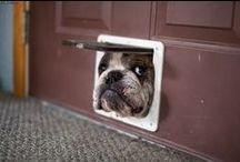 I really want a Bulldog (or five!) / Cute British Bulldogs - I really want one / by MrsBee
