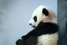 P is for Panda / When I was a little girl all my teddies where Pandas. / by MrsBee