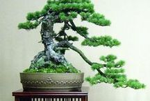 Bonsai / by Alphabet Salad Productions