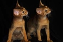 Beautiful Abyssinian Cats  ❤️ / Abyssinian Cats and Kittens / by Donna Amerson