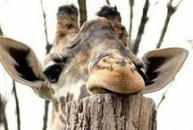 Giraffes / by Morgan Tuck