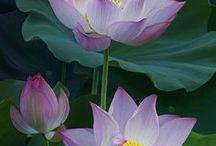 Lilies &Lotos