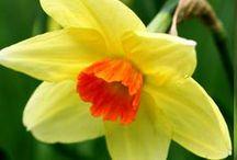 Narcisseae/Нарциссы